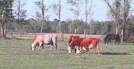 cattle2.jpg (100378 bytes)